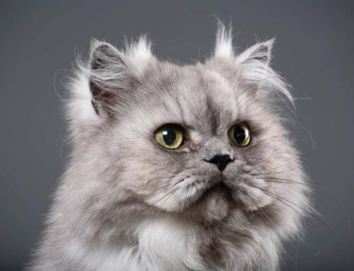 Cats from Around the World – Persian Cat