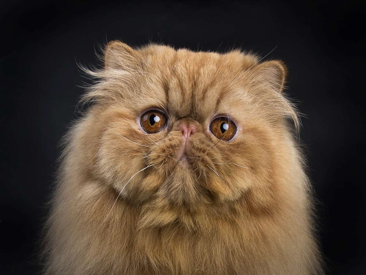 Cats From Around The World Persian Cat Animal Care Center