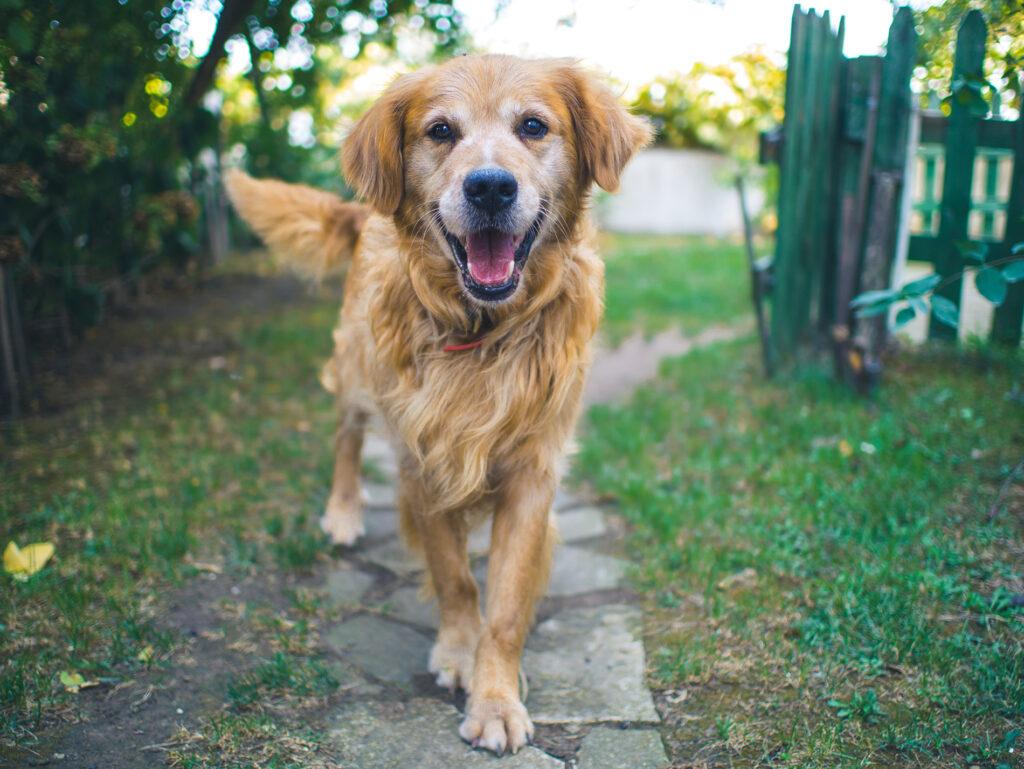 dog walking in yard