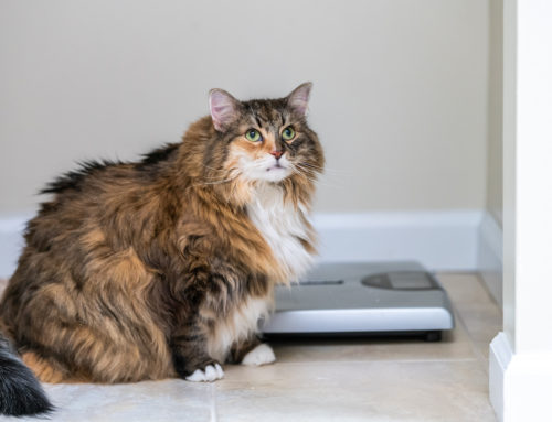 Cat Health Tips: What is an Ideal, Healthy Weight?