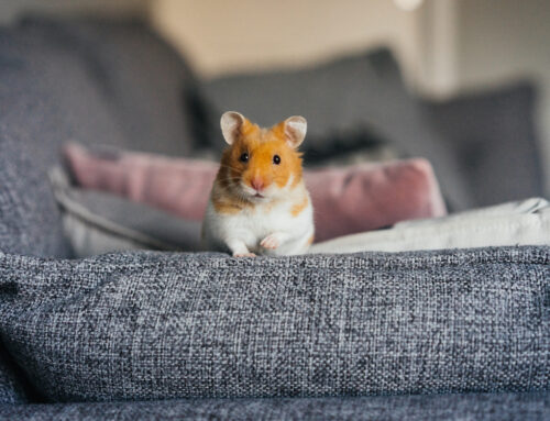 Is It Safe to Have a Hamster in Your Bedroom?
