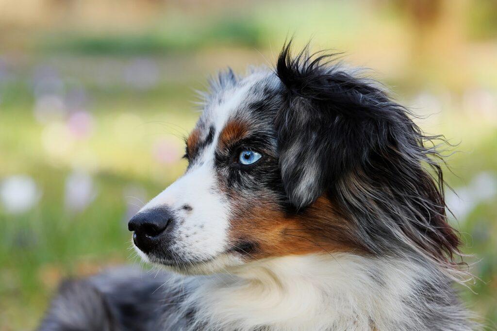Australian Shepherd and those eyes