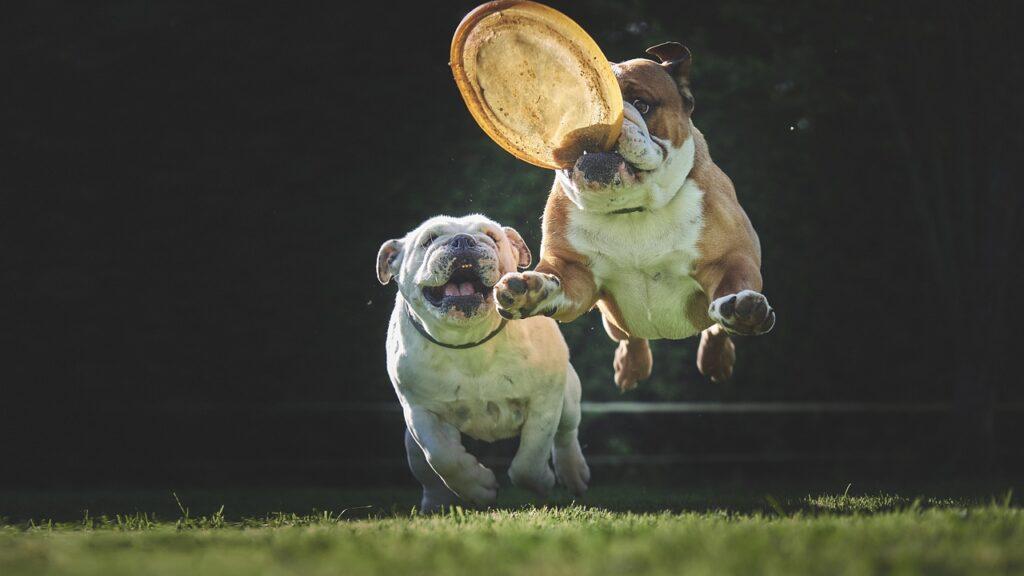 Bulldogs at play