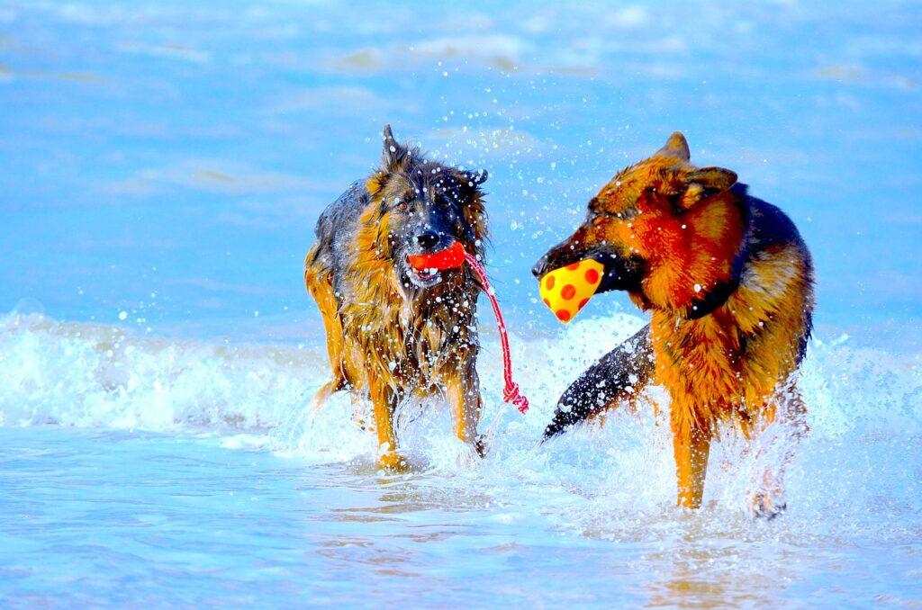 German Shepherds at play